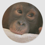 Baby Chimp Sticker