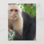 White Faced Capuccin Monkey Postcard